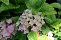 Hydrangea macrophylla Pink Elf 1zz.jpg