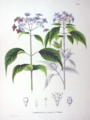 Hydrangea macrophylla SZ57.png