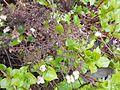 Hydrangea petiolaris 2017-04-30 8920.jpg