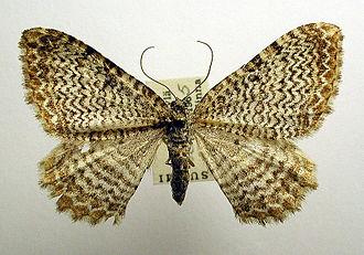 Rheumaptera undulata - Image: Hydria undulata