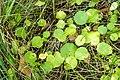Hydrocotyle vulgaris, marsh pennywort.jpg