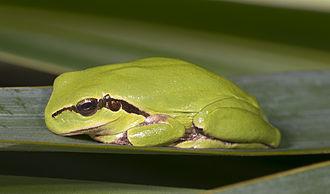 Mediterranean tree frog - Rest position - Haute-Garonne France