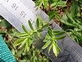 Hypericum macrosepalum-01.JPG