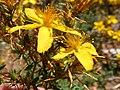 Hypericum perforatum flowers belair park 2.jpg