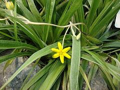 240px hypoxis villosa (hirsuta)   common star grass dsc07948 c