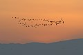 Ibis in flight at sunset (6411048015).jpg