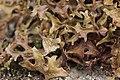 Iceland moss - Cetraria islandica (44477376442).jpg