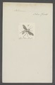 Ichneumon - Print - Iconographia Zoologica - Special Collections University of Amsterdam - UBAINV0274 046 06 0006.tif