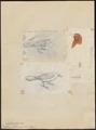 Icterus holosericeus - 1700-1880 - Print - Iconographia Zoologica - Special Collections University of Amsterdam - UBA01 IZ15800283.tif