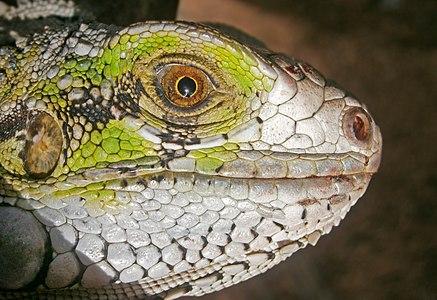 Iguana Iguana in San Juan Bautista, Venezuela