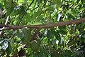 Iguana delicatissima in Coulibistrie l03.jpg