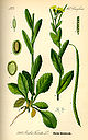 Illustration Arabis turrita0.jpg