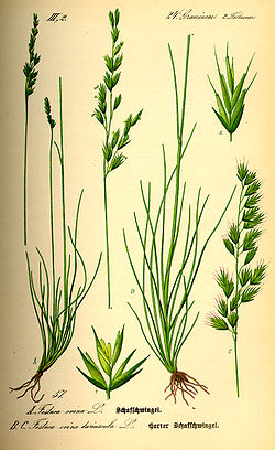 Illustration Festuca ovina0.jpg