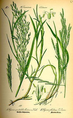 Illustration Glyceria maxima0.jpg