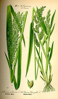 Illustration Panicum miliaceum and Echinochloa crus-galli0.jpg