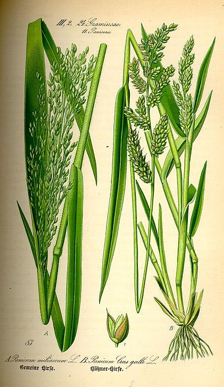Pflanze wikipedia Ahuhu