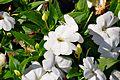 Impatiens hawkeri 'Superpatience Blanc' in Jardin des Plantes de Toulouse 01.jpg