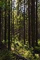 In the forest near Shhuchie lake, Komarovo-2.jpg
