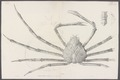 Inachus kaempferi - - Print - Iconographia Zoologica - Special Collections University of Amsterdam - UBAINV0274 095 21 0006B.tif