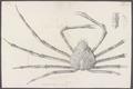 Inachus kaempferi - - Print - Iconographia Zoologica - Special Collections University of Amsterdam - UBAINV0274 095 21 0006B.tif