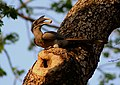 Indian Grey Hornbill Ocyceros birostris 7 by Dr. Raju Kasambe.jpg