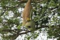 Indian Weaver Bird.jpg