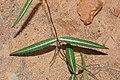 Indian sarsaparilla (Hemidesmus indicus ) 07602.jpg