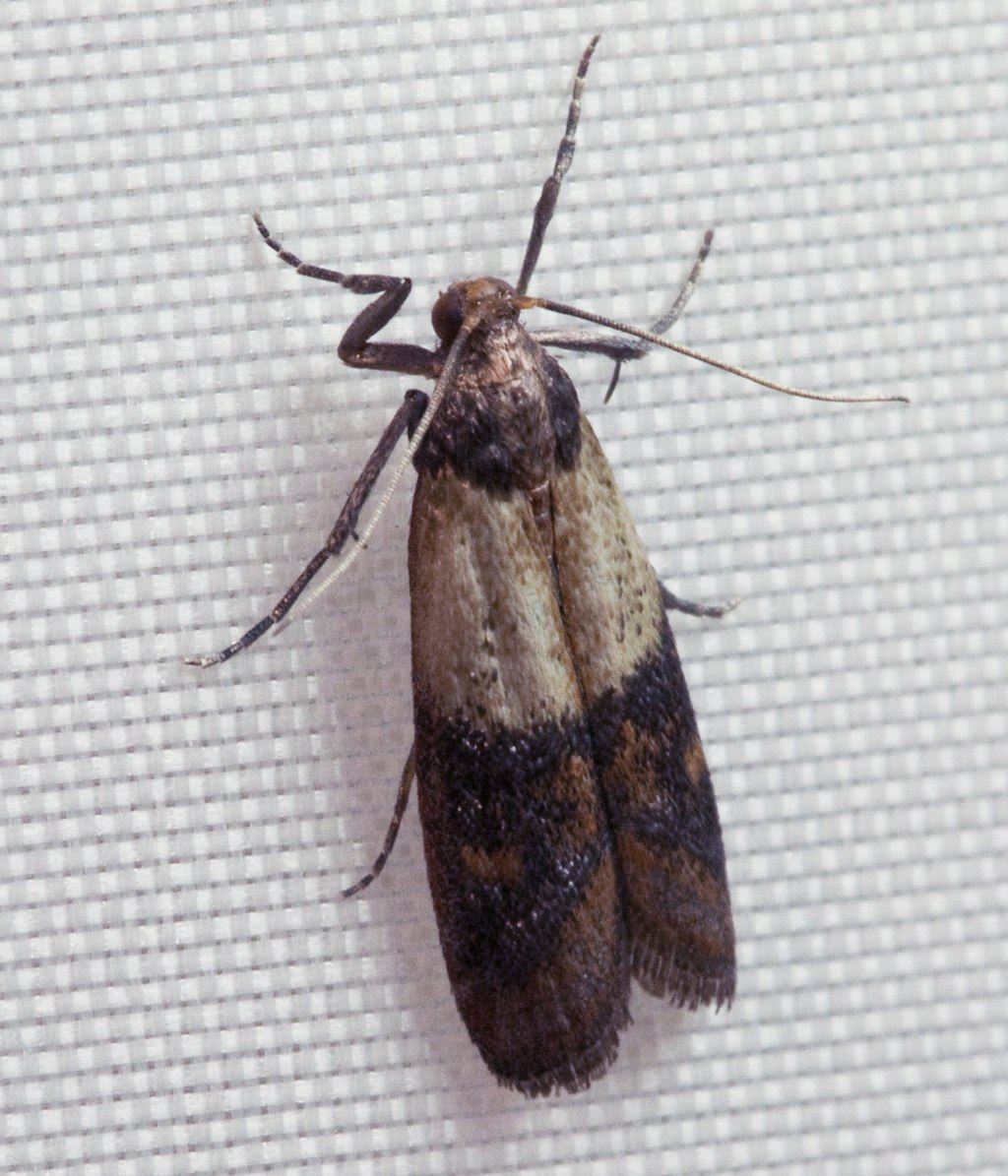 Indianmeal moth 2009