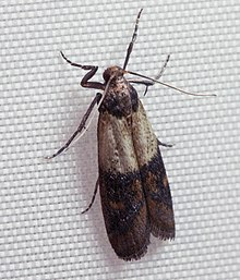 Gentil Indianmeal Moth
