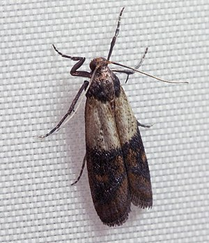 Sperm competition - Indian mealmoth