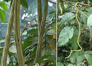 Inga edulis - Image: Inga edulis, mature and juvenile Guama pods (10108341614)