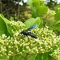 Insect from Madayipara DSCN2685.jpg