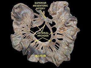Arterial arcades
