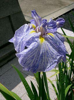 Iris ensata cv daisougen