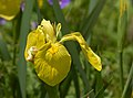 Iris pseudacorus (UN-0056-C) Front.JPG
