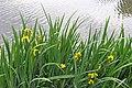 Iris pseudacorus R02.jpg