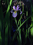 Iris virginica - Blue Flag Iris.jpg