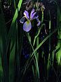 Iris virginica - Blue Flag Iris.jpg