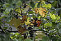 Isabella grapevine - Vitis labrusca 02.jpg