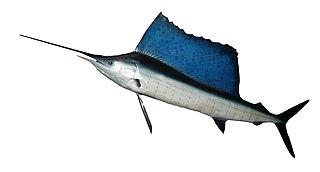 Indo-Pacific sailfish species of fish