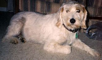 Istrian Coarse-haired Hound - Istrian Coarse-haired Hound