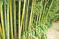 Jardin botannique bayonne bambous.JPG