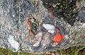 Jasper-quartz pebble conglomerate (Lorrain Formation, Paleoproterozoic, ~2.3 Ga; Ottertail Lake Northeast roadcut, near Bruce Mines, Ontario, Canada) 31 (40742876493).jpg
