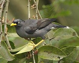 Burung Tiong Jambul Jawa - Wikipedia Bahasa Melayu, ens