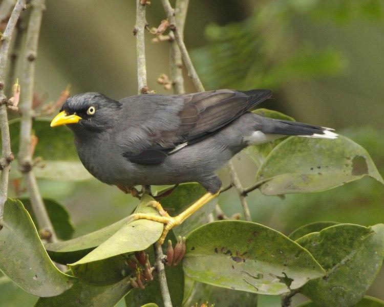 File:Javan Myna (Acridotheres javanicus).jpg