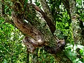 Jobóia comum (Boa constrictor).jpg