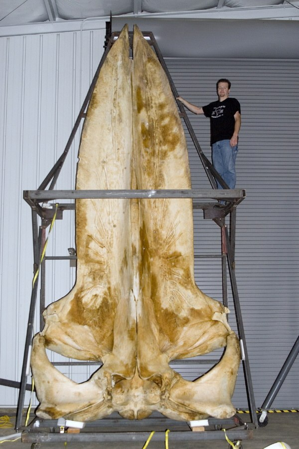 Joey williams with a 19 foot long blue whale skull
