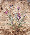 Joshua Tree National Park flowers - Astragalus lentiginosus - 1.jpg