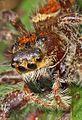 Jumping Spider - Phidippus clarus?, Julie Metz Wetlands, Woodbridge, Virginia - 8128481582.jpg