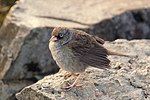 File:Junco vulcani 2 CR.JPG